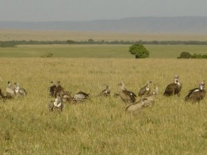 vultures_africa
