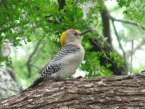 woodpecker_tx